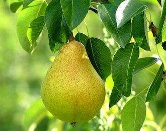pear_tree